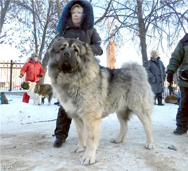 кавказская овчарка Властелин Русский Риск от Акбек