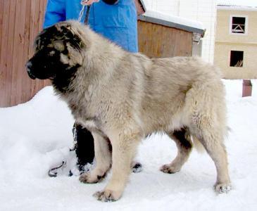 кавказская овчарка Русский Риск Шамми на фотографии 9 мес.