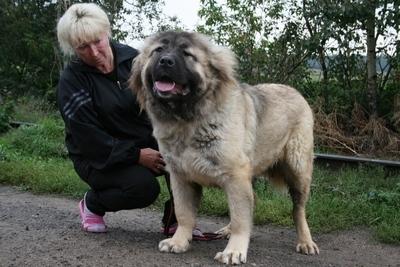 кавказская овчарка Русский Риск Шикарная Львица 12 месяцев