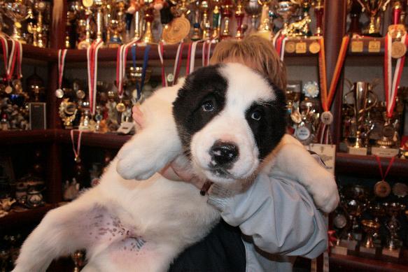 продажа щенков среднеазиатской овчарки - алабай, Sale of