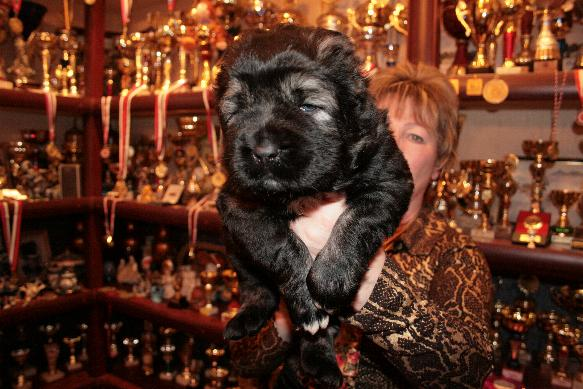 щенок кавказской овчарки - мальчик Русский Риск Тайфун 25 дней. Caucasian Shepherd puppy - boy Russian Risk Typhoon 25 days.
