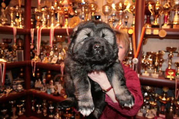 щенок кавказской овчарки - мальчик Русский Риск Тайфун 40 дней. Caucasian Shepherd puppy - boy Russian Risk Typhoon 40 days.