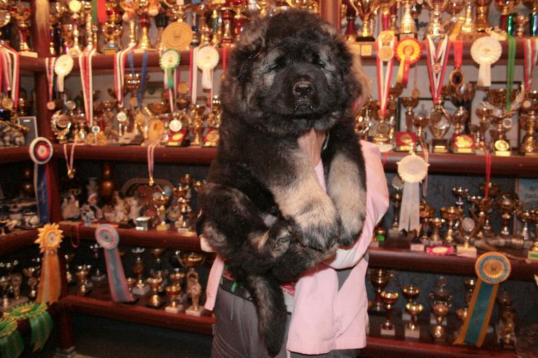 продается щенок кавказской овчарки мальчик 55 дней, Caucasian Shepherd puppy male 55 days.