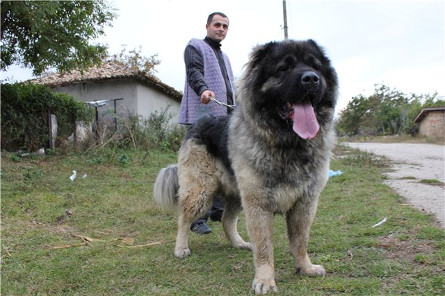 кавказская овчарка, кобель - Русский Риск Оскар 2, Caucasian Shepherd Dog - Russian Risk Oscar 2, Pastor Caucasian Dog - Russian Risk II Oscar 2