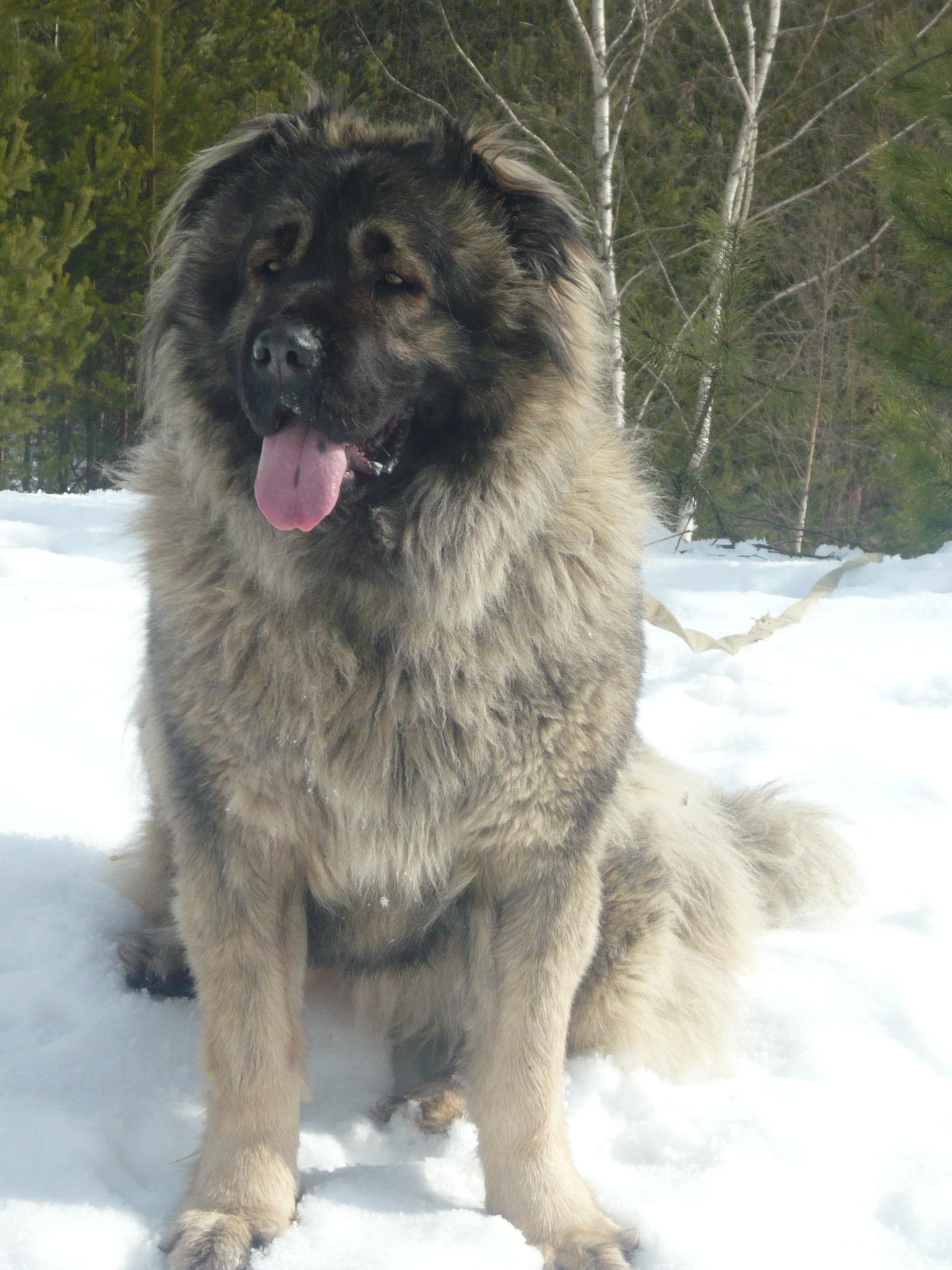 кавказская овчарка Анри, Caucasian Shepherd dog Anri, kavkazskaya ovchaka Anri
