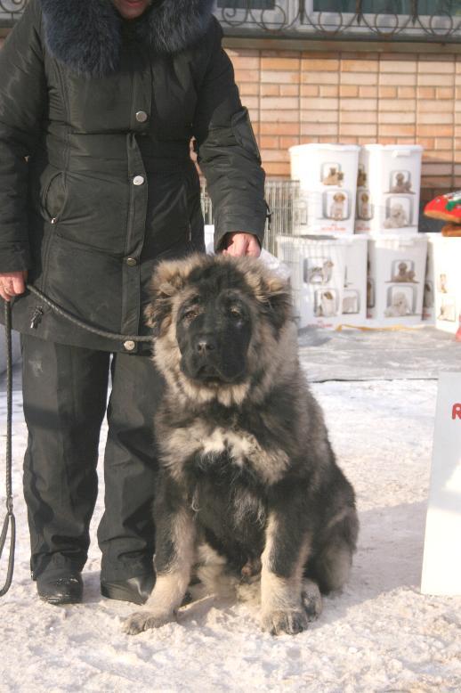 кавказская овчарка Русский Риск Аватар 4,5 мес. Caucasian Shepherd dog Russian Risk Avatar 4,5 months.