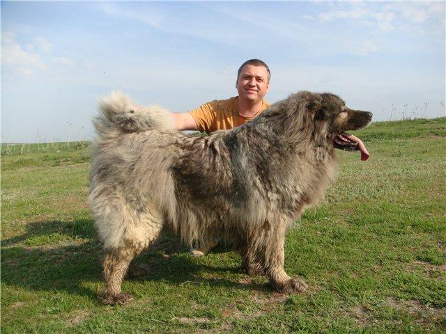кавказская овчарка Акбар от Акбек, Pastor Caucasian Akbar de Akbek