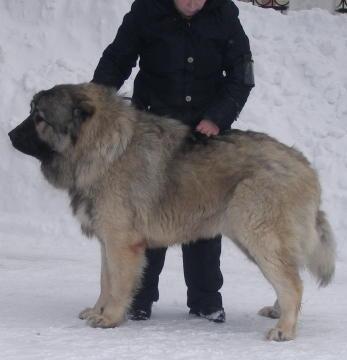 кавказская овчарка, кобель Властелин Русский Риск от Акбек