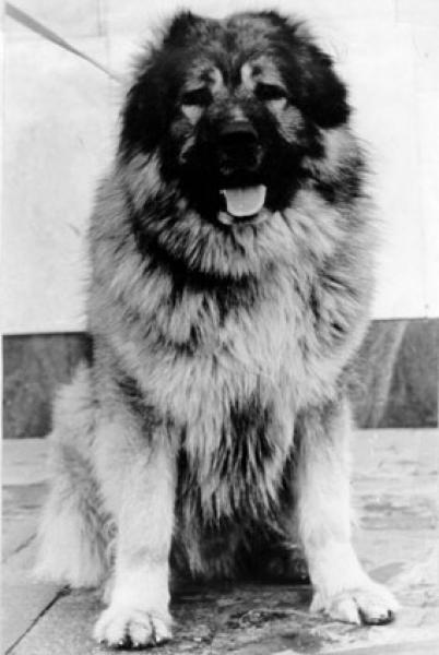 Самые опасные породы собак   600x402