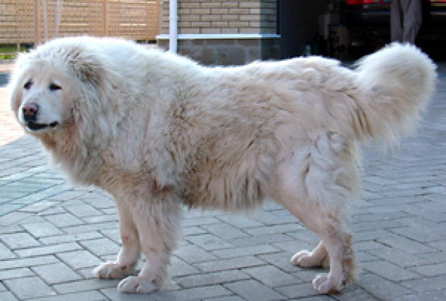 кавказская овчарка белого окраса фото